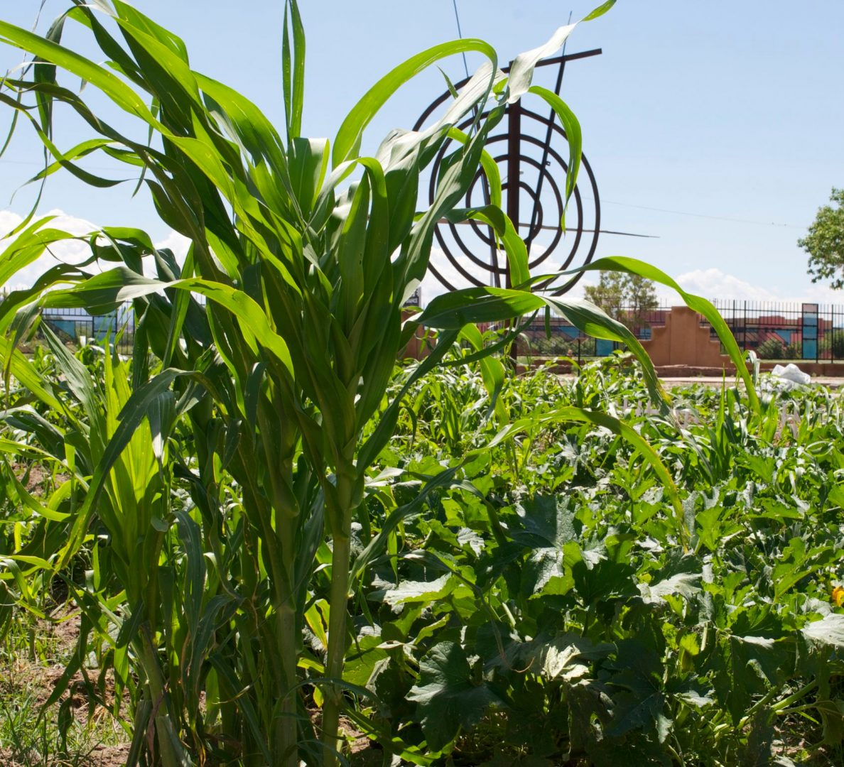 Corn in the Resilience Garden at the Indian Pueblo Cultural Center
